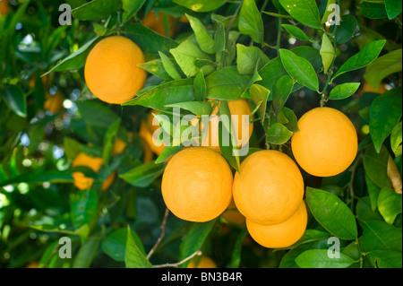 Fresh, ripe organic oranges hanging on an orange tree. - Stock Photo