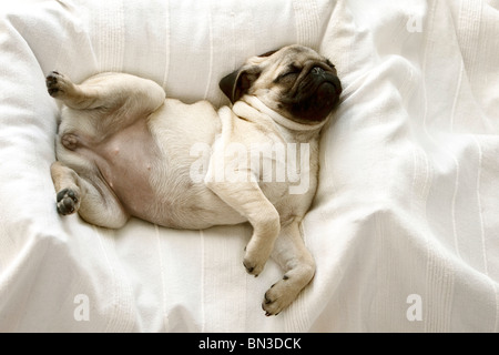 Puppy, Pug, sleeping on pillow - Stock Photo