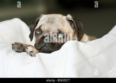 Puppy, Pug, lying on pillow - Stock Photo