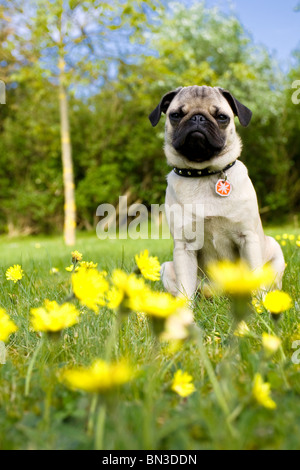 Pug puppy sitting on meadow - Stock Photo