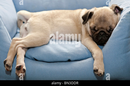 Pug, pug, sleeping in chair - Stock Photo