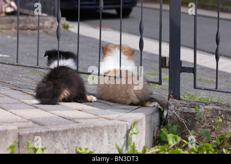 Long-haired Collie (Canis lupus f. familiaris), two whelps lying under a metal fence watching a road - Stock Photo