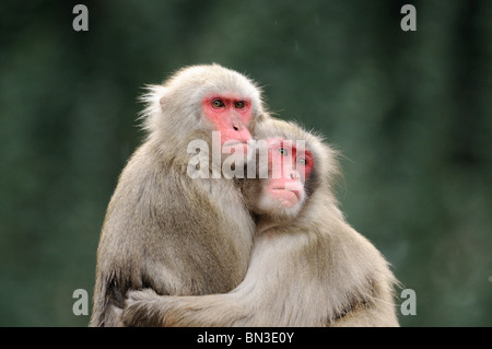 Two Red-faced makaks (Macaca fuscata) embracing each other - Stock Photo