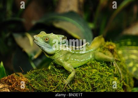 Plumed basilisk (Basiliscus plumifrons), close-up - Stock Photo