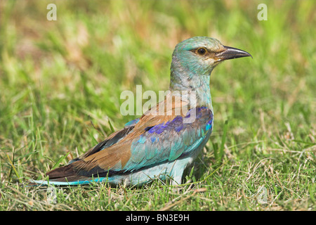 European Roller (Coracias garrulus) on grass, side view - Stock Photo