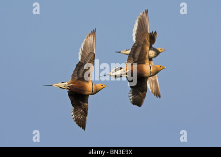 Chestnut-bellied Sandgrouses (Pterocles exustus) flying against a blue sky, low angle view - Stock Photo
