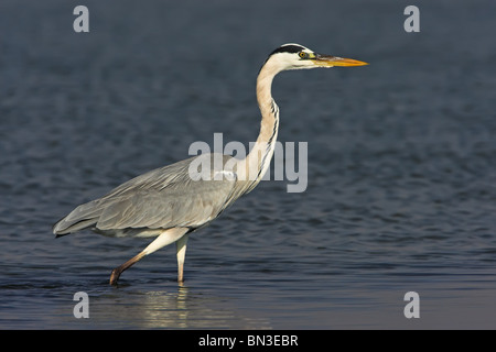 Grey Heron (Ardea cinerea) standing in shallow water, side view - Stock Photo