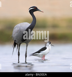 Demoiselle Crane (Anthropoides virgo) and Black-winged Stilts (Himantopus himantopus) standing in shallow water - Stock Photo