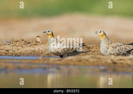 Two Crowned Sandgrouses (Pterocles coronatus) on the waterfront, side view - Stock Photo