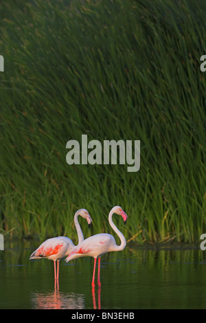Two pink flamingos (Phoenicopterus ruber roseus) standing in water, side view - Stock Photo