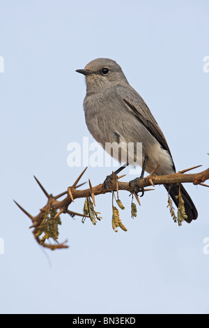 Blackstart (Cercomela melanura) sitting on a twig - Stock Photo