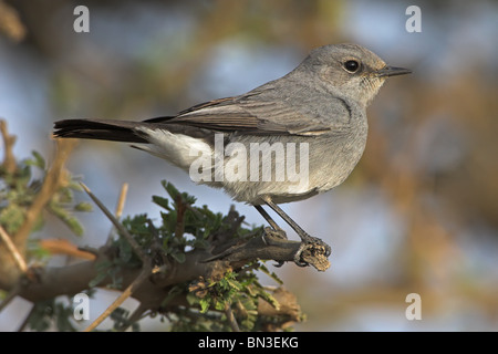 Blackstart (Cercomela melanura) sitting on a twig, close-up - Stock Photo