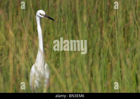 Little egret (Egretta garzetta) in grass - Stock Photo