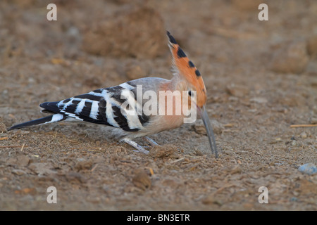 Hoopoe (Upupo epops) foraging on the ground, side view
