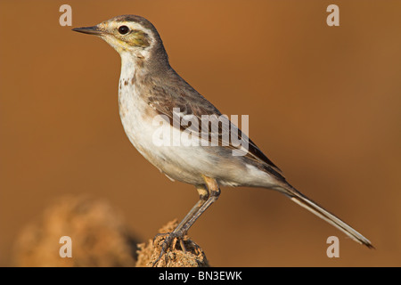 Citrine Wagtail (Motacilla citreola), side view - Stock Photo