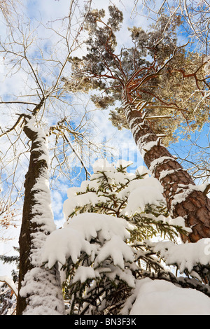 Snow-covered trees, Berchtesgadener Land, Germany, worm's-eye view - Stock Photo