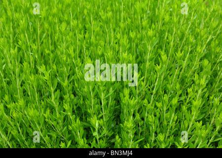 Savory Satureja montana herb fresh green spice - Stock Photo