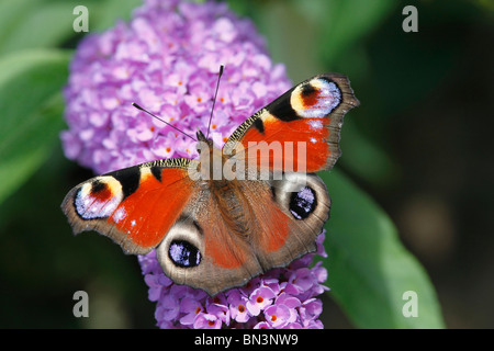 peacock butterfly, Inachis io, on violet flower, Rhineland-Palatinate, Germany, Europe - Stock Photo
