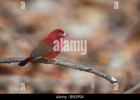 Red-billed Firefinch, Lagonosticta senegala, Gambia, West Africa, Africa - Stock Photo