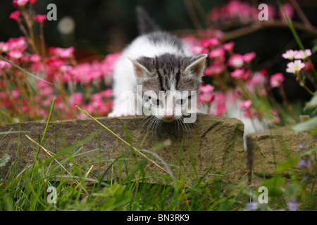 domestic cat, house cat, European Shorthair (Felis silvestris f. catus), 4 weeks old kitten climbing over boundary - Stock Photo
