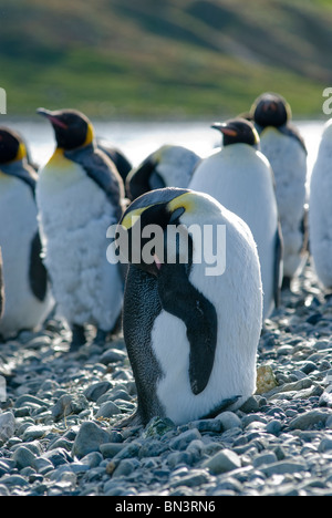 A King Penguin, Aptenodytes patagonicus, preening self, South Georgia - Stock Photo