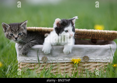 domestic cat, house cat, European Shorthair (Felis silvestris f. catus), two 5 weeks old kitten climbing out of - Stock Photo
