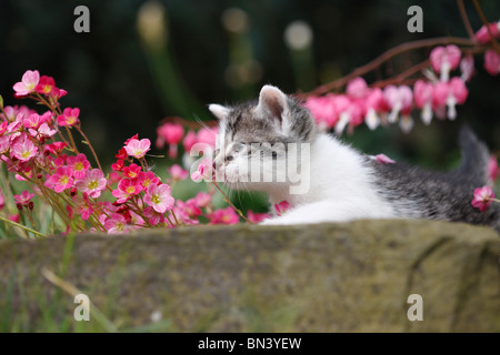 domestic cat, house cat, European Shorthair (Felis silvestris f. catus), 4 weeks old kitten lying on boundary stone - Stock Photo