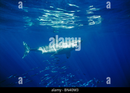 Great White Shark (Carcharodon carcharias) with schooling Mackerel Scad (Decapterus macarellus), Guadalupe Island, - Stock Photo