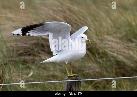 Common Gull; Larus canus; on a post; - Stock Photo