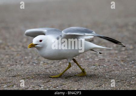 Common Gull; Larus canus; - Stock Photo
