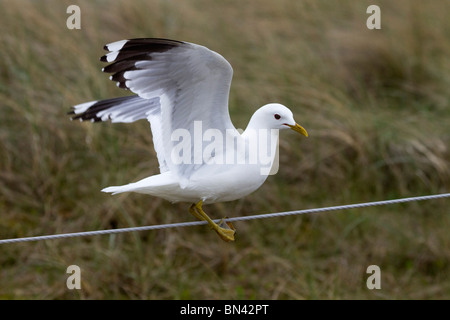 Common Gull; Larus canus; on a wire - Stock Photo
