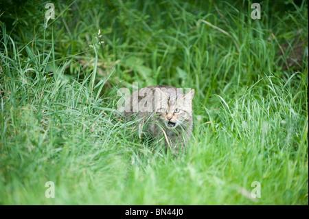 British wild cat, now only found in the wild in Scotland - Stock Photo