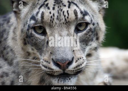 Snow leopard face side - photo#43