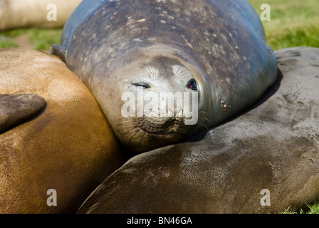 Sleeping Southern Elephant Seals, Mirounga leonina, portrait, South Georgia - Stock Photo