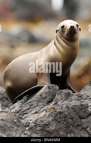 Stock photo of a California sea lion pup sitting on a rock. - Stock Photo