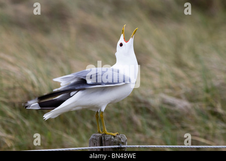 Common Gull; Larus canus; on a post; calling - Stock Photo