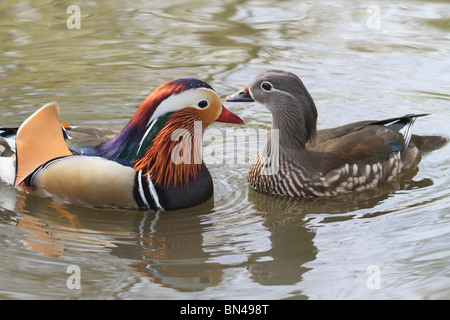 Male and female Mandarin Duck ( Aix galericulata ) facing each other in a pond in Richmond Park, England - Stock Photo