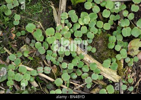 Seedling Himalayan balsam (Impatiens gladulifera) plants