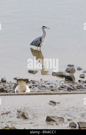 Grey Heron on the river Thames, West London, United Kingdom - Stock Photo