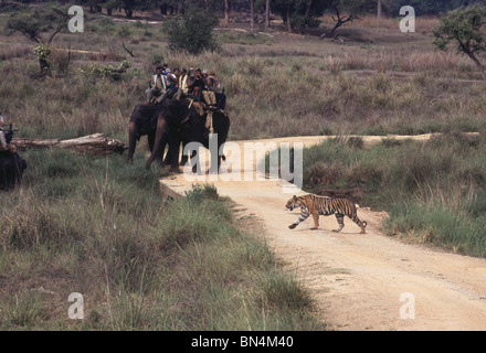 A tiger crosses road watched by tourists on elephant  back; Kanha National Park; Madhya  Pradesh ; India - Stock Photo