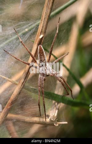 Female Nursery-web spider Pisaura mirabilis Taken In Cumbria, UK - Stock Photo