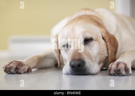 Close-up of Yellow Labrador Retriever dog sleeping on floor.  Winnipeg, Manitoba, Canada. - Stock Photo