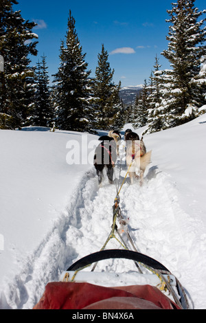 A sled being pulled by dogs through a forest in the winter - Stock Photo