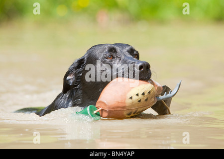 A black Labrador Retriever swimming with a training dummy in its mouth - Stock Photo