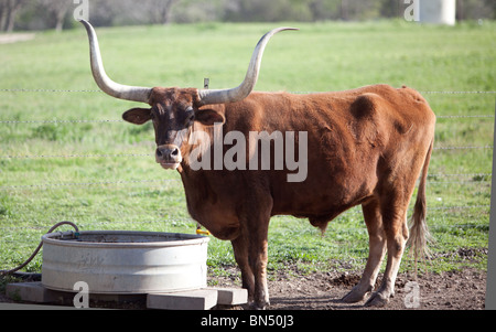A Texas Longhorn Steer on a Ranch near Austin, Texas - Stock Photo