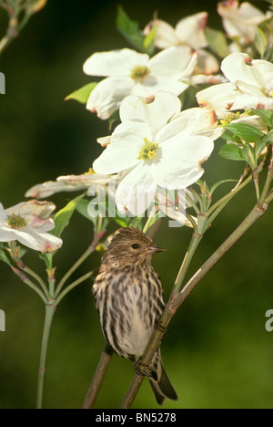 Male Pine Siskin (Carduelis pinus) perched on blooming Dogwood branch in Spring - Stock Photo