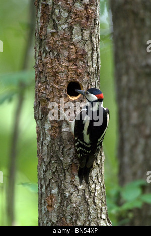Greater spotted woodpecker (Dendrocopos major) - Stock Photo