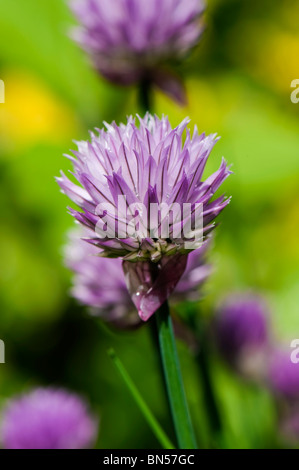 Flower on a chives plant - Stock Photo