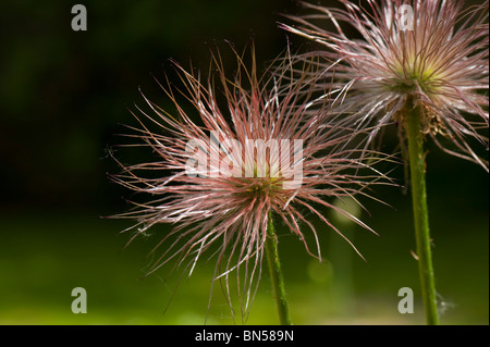 Pasque flower (Pulsatilla vulgaris) seedhead - Stock Photo