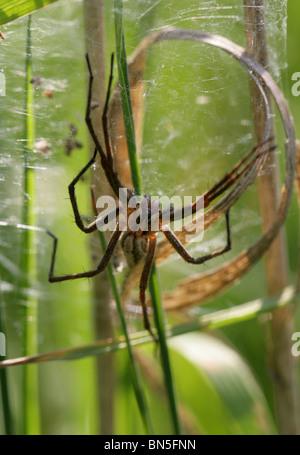Nursery Web Spider, Pisaura mirabilis, Pisauridae, Araneae, Arachnida. Guarding Her Eggs in a Web. - Stock Photo